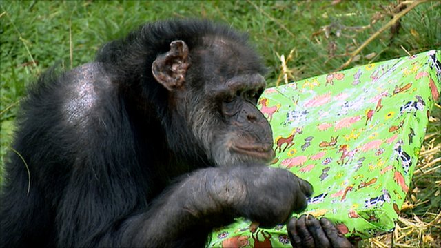 Ricky the chimp with a birthday present