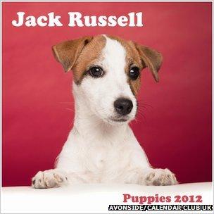 Jack Russell puppies calendar
