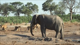 Elephant and lions at waterhole