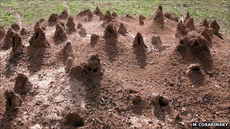 The ventilation turrets on a nest built by grass-cutting ants, Atta vollenweideri (Image: Marcela Cosarinsky)