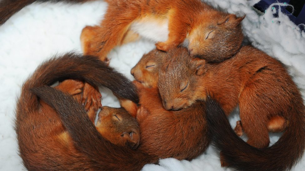 Baby red squirrels - photo#25