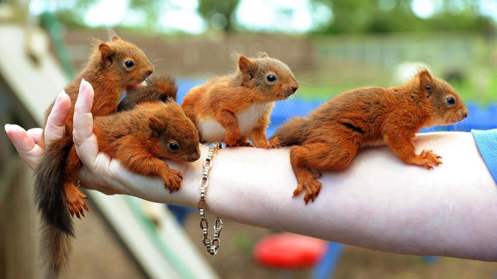 Baby red squirrels - photo#15