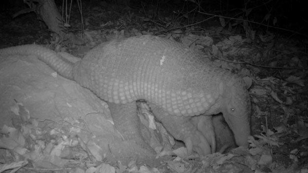 Giant armadillo (c) A Desbiez