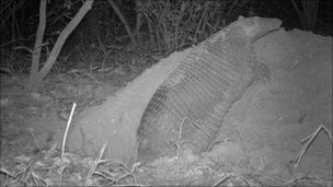 Giant armadillo burrowing (c) A Desbiez