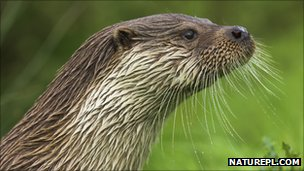 European otter (c) Nick Garbutt / naturepl.com