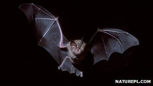 Greater horseshoe bat (c) Jose B. Ruiz / naturepl.com
