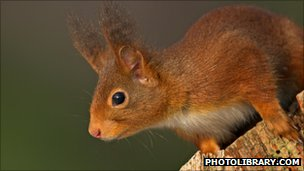 Red squirrel (c) 2009 photolibrary.com
