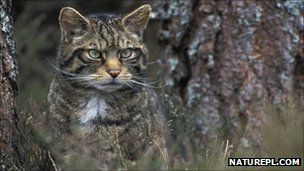 Scottish wildcat (c) Pete Cairns / naturepl.com