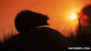 Hedgehog at sunset (c) Artur Tabor / naturepl.com