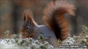 Red squirrel (c) 2010 photolibrary.com