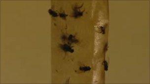 Flies on tape