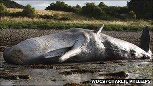 Sperm whale. Pic: WDCS/Charlie Phillips