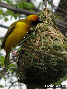 A southern masked weaver bird building a nest