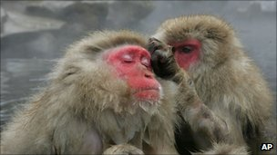 Japanese macaques, AP