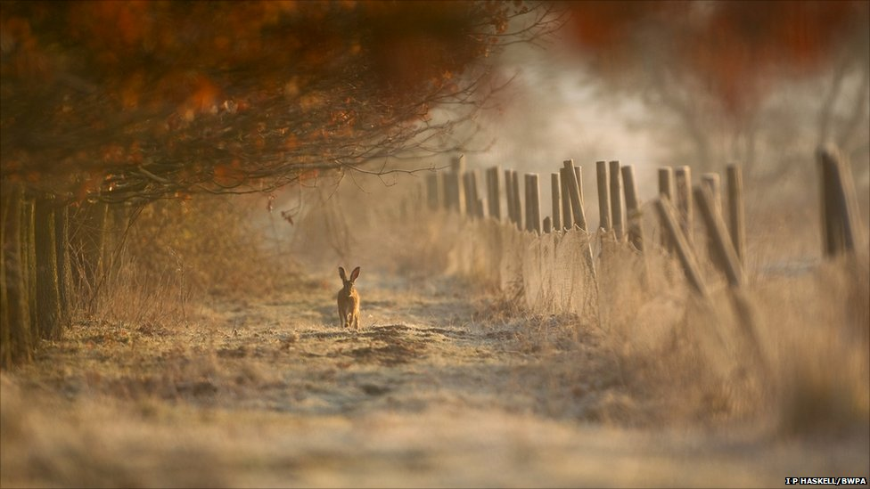 Hare in Morning Light with Hoar Frost (Image: Ian Paul Haskell/BWPA)