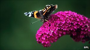 Butterly on buddleia