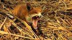 Fox yawning (Image: Oliver Wilks/BWPA)