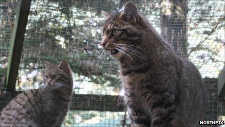 Scottish wildcats. Pic: Northpix