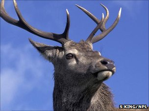 Red deer stag (Image: Simon King/ NPL)