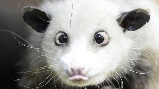 Heidi the famous cross-eyed opossum