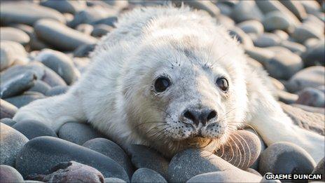 Grey seal pup. Pic: Graeme Duncan