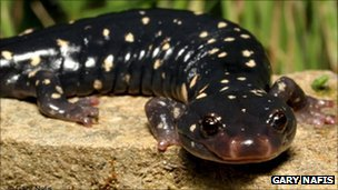 Black speckled salamander