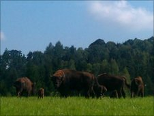 The bison in their enclosure