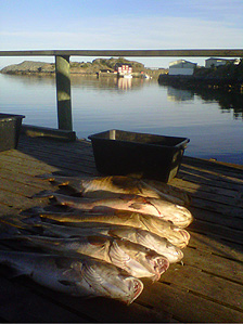 Cod drying in the sun