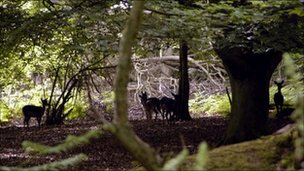 Deer in woodland