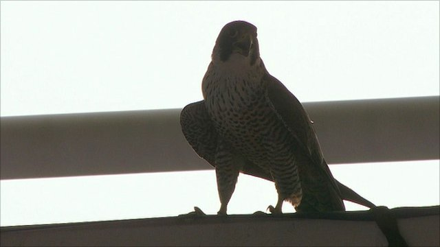 Peregrine falcon at Leicester City's King Power Stadium