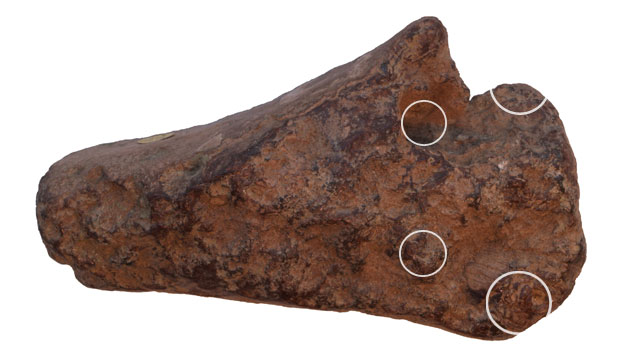 Mandible with tooth sockets highlighted (c) NHM