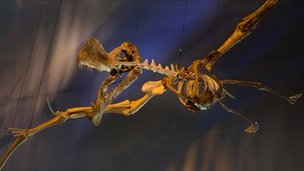 Coloborhynchus spielbergi in Naturalis, Leiden, the Netherlands