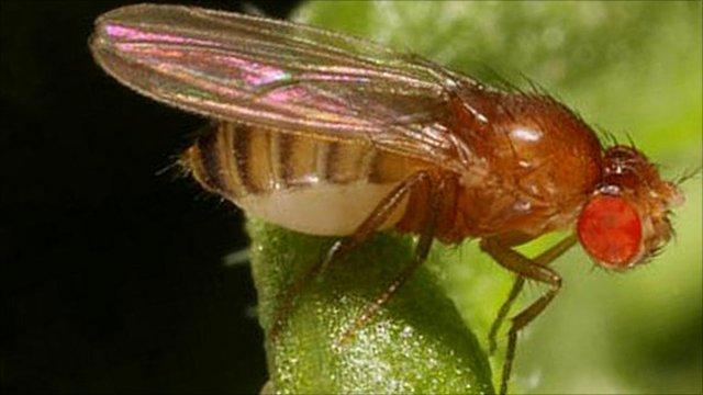 Fruit fly (Drosophila melanogaster) (c)Darren Obbard/ University of Edinburgh