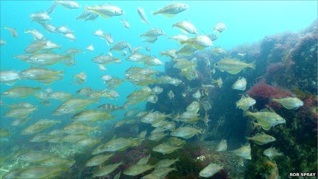 Fish underwater off Norfolk's coastal reef