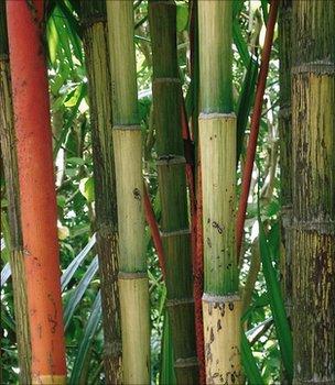 Bamboo (Image: BBC)
