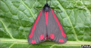 Cinnabar is an unusually colourful moth (Image: Les Hill)