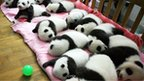 Baby giant pandas 