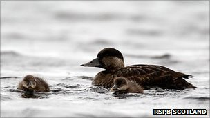Common scoter duck and ducklings. Pic: RSPB Scotland