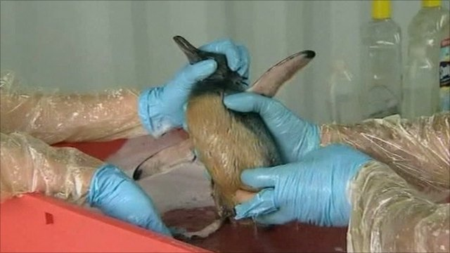 Workers clean a bird covered by oil