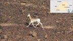 Dama gazelle (Image: Thomas Rabeil/Saharan Conservation Fund)