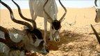 Addax (Image: Thomas Rabeil/Saharan Conservation Fund)