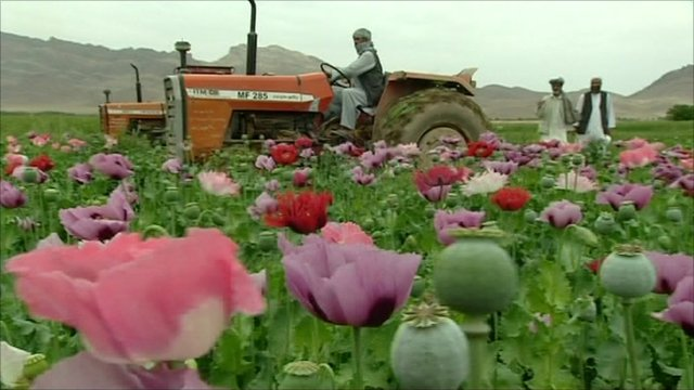 A poppy field in Afghanistan