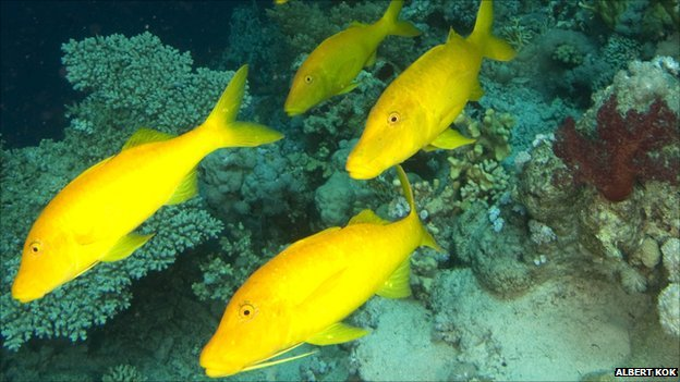 Yellow saddle goatfish (c) Albert Kok via Wikimedia Commons
