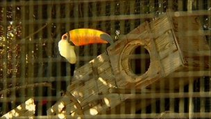 A toco toucan at the Leeds Castle aviary
