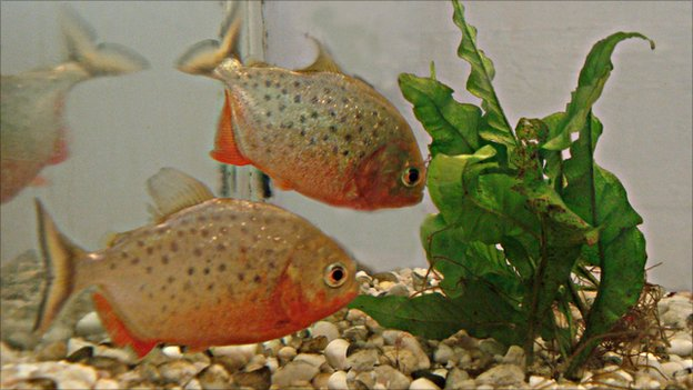 Red-bellied piranhas (Image: Journal of Experimental Biology)