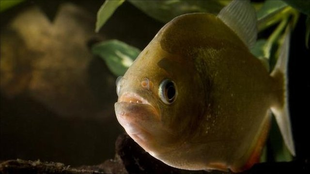 Red-bellied piranha (Image: Mark Bowler/NPL)