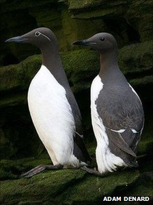 Guillemots on rock by Adam Denard