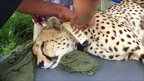Cheetah having GPS collar fitted