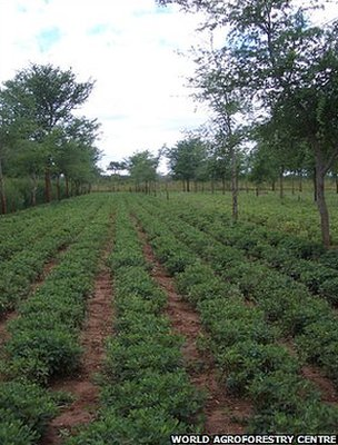 Tree and crop mixed planting (Image: World Agroforestry Centre)