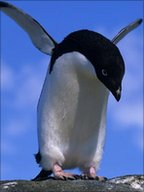 Adelie penguin (Image: Photolibrary.com)
